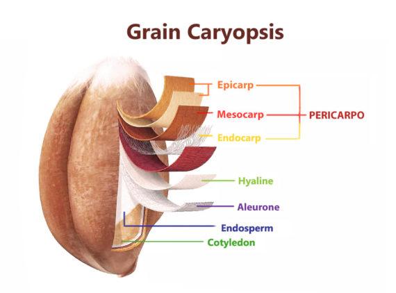 Grain-Caryopsis