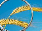 contaminazione-grano-micotossine